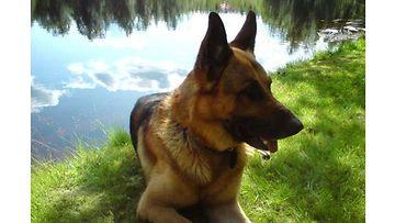 """Rolle-koira: """"Rolle 11 vuotta ja kesäinen jokimaisema."""" Kuva: Sami Mäkeläinen"""