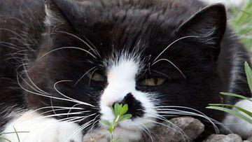 """Bubba-kissa: """"Bubba nauttii Kesästä ja Auringosta."""" Kuva: Maarit Auvinen"""