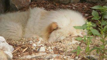 """Raksu-koira: """"Meidän chow poika nauttii mökkeikystä kaivamassaan kuopassa rappujen alla."""" Kuva: Tarja Huovinen"""