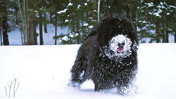 Leevi-koira. Kuva: Petra Savolainen