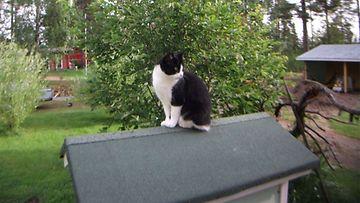 """Miuku-kissa: """"Miuku vahdissa Kissalan katolla."""" Kuva: Jaana Kemppainen"""
