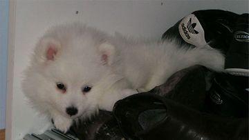 """Tiuku-koira: """"Tiuku on kova vahtimaan kenkiä."""" Kuva: Pirjo Karvinen"""