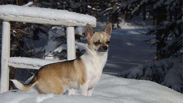 """Sipare-koira: """"Keväinen talvipäivä,lenkkeilyn lomassa,tälläinen otos pienestä chihuahua nartusta nimeltä Sipare."""" Kuva: Riitta Kinnunen"""