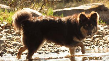 Vikke-koira. Kuva: Pinja Kotivaara