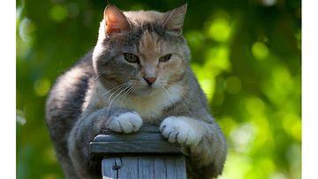 """Fanni-kissa: """" Reviiritietoinen ikäneiti, Fanni. Kissankusema kanttiinsa kuistilta!"""" Kuva: Tuija Wahlroos"""