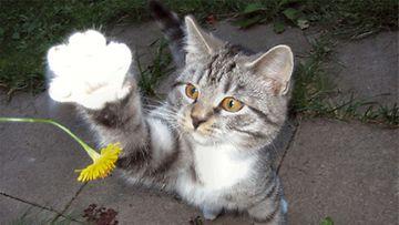 Viiru-kissa. Kuva: Tommi Kinnunen