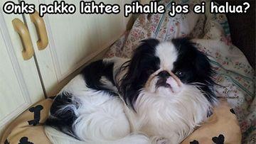Sulo-koira on aamu-uninen ja ensimmäinen pissalle meno on varsinaista henkien taistoa ennen aamu 10:ntä. Kuva: Risto Ylitie