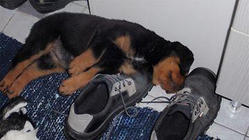 """Cheri-koira: """"Cheri(2kk) päiväunilla huom.kengän koko 45. Ei nykyään enään noin pieni 2,5v paino 47KG"""" Kuva: Kalle Heikkilä"""
