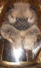 """Möksy-koira: """"Pomeranian Möksy, pannun henki."""" Kuva: Riitta Gröhn"""