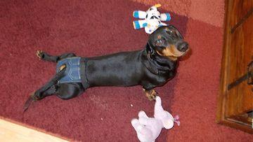 """Eppa-koira: """"Tosi makeet farkut mulla...!"""" Kuva: Päivi Arki"""