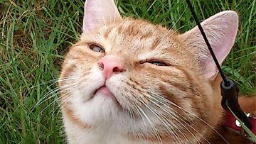 Napsu-kissa. Kuva: Pirkko Engström