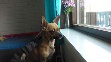 """Mimi-koira: """"Meidän Mimi tykkää katsella ikkunasta ulos :)"""" Kuva: Jenny Luukkonen"""