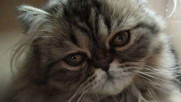 """Muhku-kissa: """"Persialais kissanpentu joka rakastaa pahvilaatikoita ja ponnareita."""" Kuva: Sari Kosunen"""