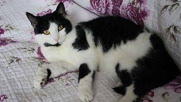 """Cleo-kissa: """"Cleo on n. 5-vuotias löytöeläintalosta hankittu naaraskissa <3"""" Kuva: Melissa Juola"""