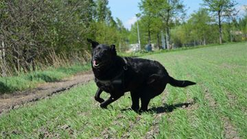 """Cinta-koira: """"Lempiharrastuksiin kuuluu syöminen ja vapaana juokseminen."""" Kuva: Simo Lindholm"""