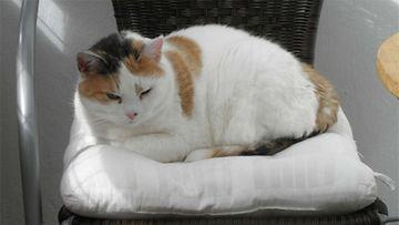 "Noora-kissa: ""Olen 11v lady."" Kuva: Kirsti Komonen"