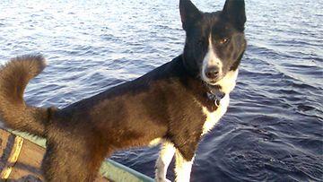 """Nelli-koira: """"Tämä on meidän Karjalankarhukoiramme Nelli, joka nukkui pois 4.3.2013. Se oli isäni hyvä metsästyskaveri ja meidän muiden lellikki. Jäämme kaipaamaan häntä!"""" Kuva: Hannele Liekola"""