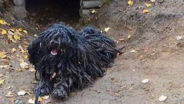 """Pufi-koira: """"Nythän se vaeltaja vasta majapaikan löysikin."""" Kuva: Anu Koskinen"""