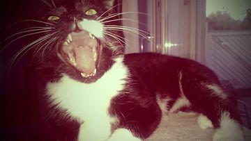 """Petteri-kissa: """"Hyviä kissanpäiviä!"""" Kuva: Laura Penttilä"""
