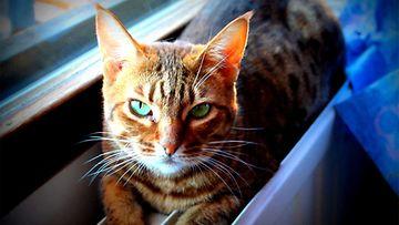 Esko-kissa. Kuva: Susanna Raassina