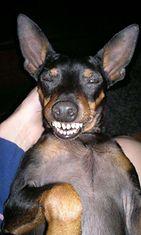 """Zorro-koira: """"Tätä mieltä meidän Zorro on siitä että lomat loppuu ja syksy alkaa."""" Kuva: Marjut Mustonen"""