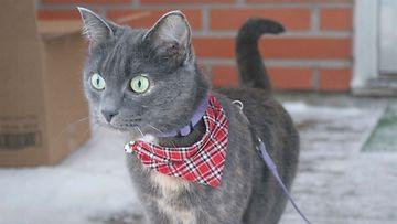"""Matilda-kissa: """"Minneköhän päin sitä suuntaisi tällä kertaa :) Matilda lähdössä kävelylle uudessa kodissa."""" Kuva:  Niklas Koivisto"""