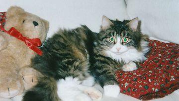 """Justus-kissa: """"Mau ! Olen kiltti ja komea vihreäsilmäinen poeka-norjalainen metsäkissa Kainuusta !"""" Kuva: Jaana Vänttinen"""