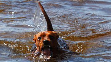 """Väinö-koira: """"Väinö on vuoden ikäinen Kääpipinseri. Uiminen ei ole kivaa niinkun ilmekin sen kertoo, mutta tyhmästä päästä kärsii koko ruumis. Onko tuossa kuvassa paljon puhuttu loch nessin hirviö? :)"""" Kuva: Päivi Kauppinen"""