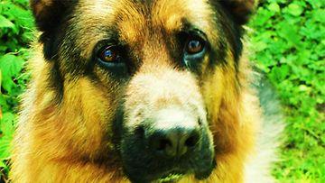 Andy-koira. Kuva: Emilia Heinonen