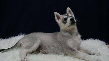 Igor-koira. Kuva: Sonja Pirjanti