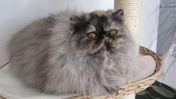 Shakira-kissa: Pieni suloinen kehräävä karvapalloni. Kuva: Anneli Mäkelä