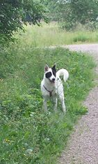 """Dali-koira: """"Dali etsii ötököitä."""" Kuva: Kirsi Hirvasniemi"""