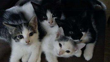Ninni-kissa: Meidän valkoinen Ninni 1v veljiensä kanssa sopuisasti yhteiskuvassa. Kuva: Kati Kainulainen