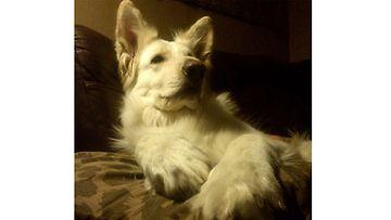 """Lumipallo-koira: """"...ihana sohva, ihana tyyny, ihana lauma, minen tarvi muuta.."""" Kuva: Sirkku Linnea Pitkänen"""