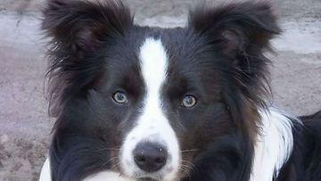 """Ruusa-koira: """"Ruusa meidän Sylvester"""" Kuva: Hannele Marjamäki"""