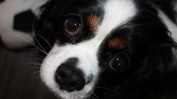 """Missi-koira: """"Sievä Missi koiramme pallo touhuissa."""" Kuva: Mervi Vahtola"""