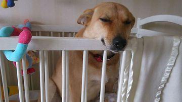 """Emmi-koira: """"Koirani tiesi, että vauvan sänkyyn ei saa mennä, joten toruttuani sitä, ilme oli tällainen. :D"""" Kuva: Petra Kekäkäinen"""