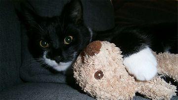 Luca-kissa: Myös kissalla voi olal unilelu. Kuva: Krista Niemimaa