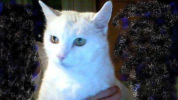 """Mamu-kissa: """"Ihana Mamu muistoissamme. nyt jo Sateenkaari kissana.""""  Kuva: Anne Uimonen"""