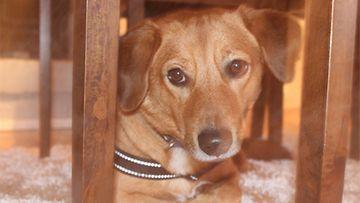 """Sulo-koira: """"Meidän Sulo suloinen beaglen ja suomenpystykorvan sekoitus.. Kova haukkumaan mutta niin paljon se kaipaa hellyyttä:)"""" Kuva: Tomi Toivonen"""