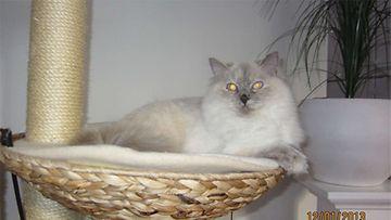 Ada-kissa: Ragdoll-kaunottareni on ihana hellyydenkipeä ja suloinen ystävä.  Kuva: Anneli Mäkelä