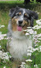 """Nelli-koira: """"Nelli kukkakedolla."""" Kuva: Susanna Kuokkanen"""