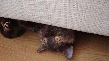 """Mimi-kissa: """"Ahhh...venyttelempä hieman. Nukuttaa, taidankin ottaa ip-torkut!"""" Kuva: Jouni Saarinen"""