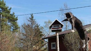 """Josefina-kissa: """"''I believe I can fly...'' Kuva: Minna Jääskeläinen"""