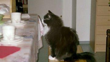 """Pörri-kissa (edesmennyt): """"Kahvipöydän ääressä.:-)"""" Kuva: Pirjo Forssell"""