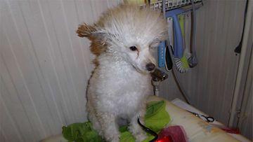 """Bella-koira: """"Kuninkaallinen olo."""" Kuva: Petra Lindroos"""