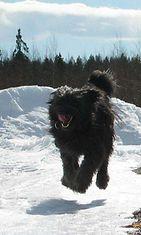 """Lahja-koira: """"Lahja ja ilokaasua!! <3"""" Kuva: Elina Korhonen"""