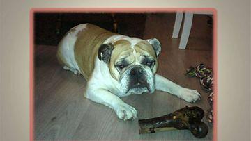 Lola-koira: Päivänsankari ja lahjaluu. Kuva: Pia Hietala