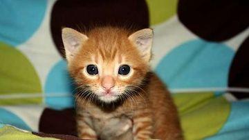 """Kirppu-kissa: """"Kirppu 19 päivää vanhana ihmettelee: Mikäs se laite on?"""" Kuva: Erika Wahlsten"""