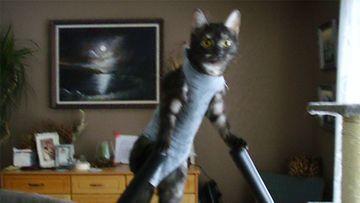 """Lempi-kissa: """"Lempi huolehtii kunnostaan leikkauksen jälkeen :)"""" Kuva: Erja Tuovinen"""